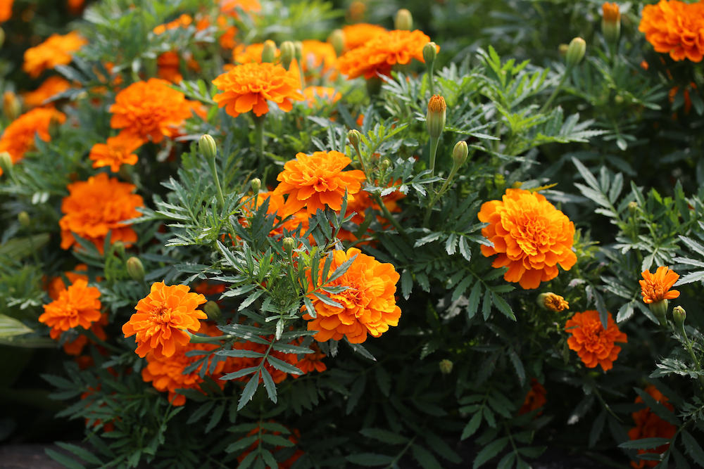 Garden marigold (Tagetes sp.)—pictured here—is not the same plant as pot marigold (Calendula officinalis)