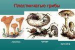 Коричневый гриб с коричневыми пластинками – Пластинчатые грибы съедобные и несъедобные
