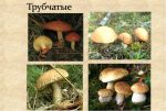 Коричневый гриб с коричневыми пластинками – +37 фото, описание и название
